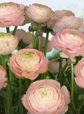 Komar fotobehang Gentle Rose 8-894