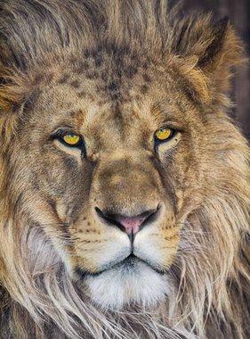 National Geographic fotobehang Lion 1-619