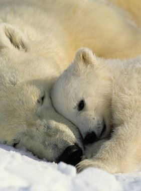 National Geographic fotobehang Polar Bears 1-605