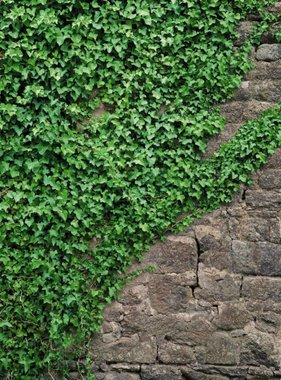 Komar fotobehang Ivy 4-324