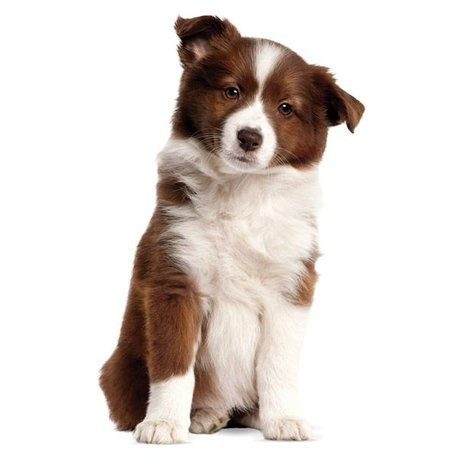 KEK Amsterdam Chiot Wall Sticker Border Collie 27x43cm