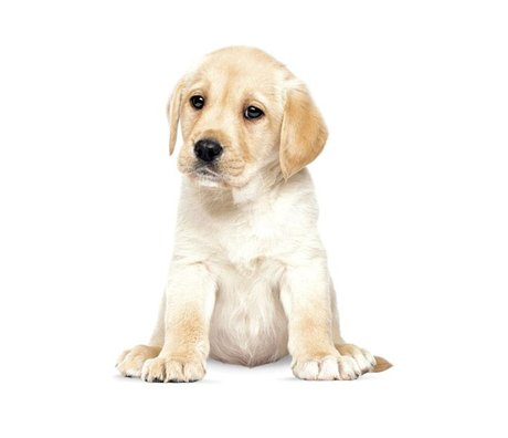 KEK Amsterdam Wall Decal Labrador puppy 24x28cm
