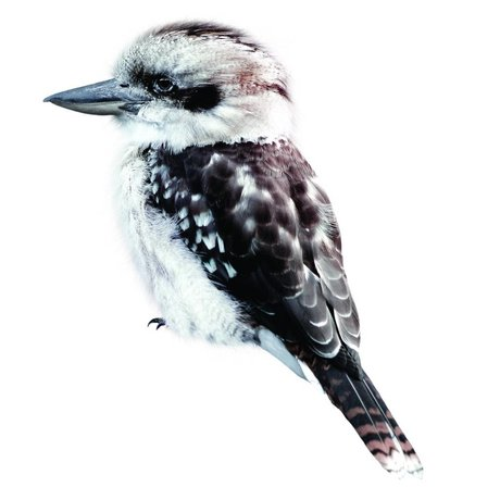 KEK Amsterdam Wall Sticker 15x17cm Kookaburra, Bird Collection