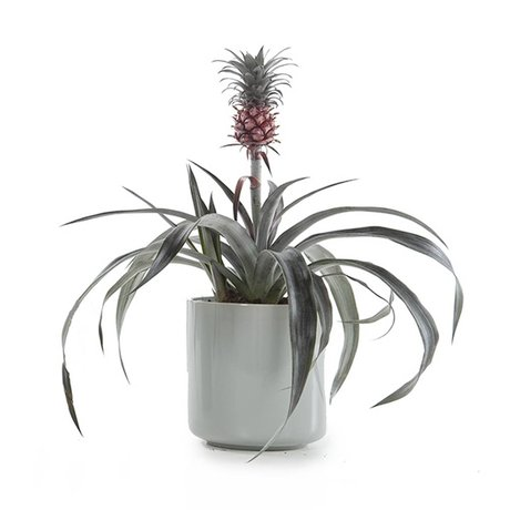Green Lifestyle Store Bromelie Pflanze Ananas Pacific ø12x30cm