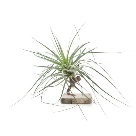 Green Lifestyle Store Plant Tillandsia Airplant roest oranje ø25x40cm