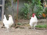 Bresse gevogelte (Frans)