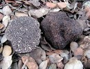Verse zwarte wintertruffel (Tuber Melanosporum)