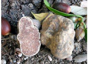 Verse witte truffel (Tuber Magnatum Pico)