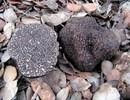 Bevroren zwarte wintertruffel (Tuber Melanosporum)
