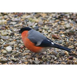 Slaats Bullfinch food