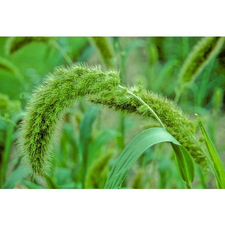 French red millet sprays (1 kg)