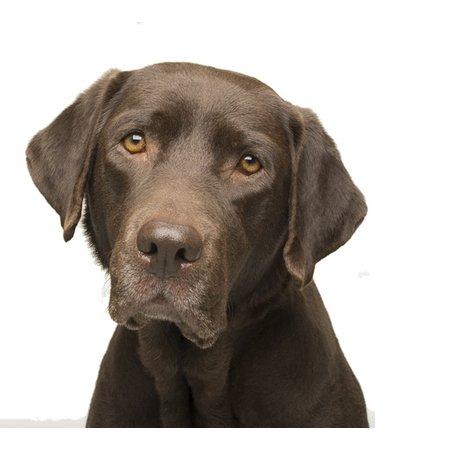 Yourdog Labrador