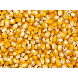 Vanrobaeys Yellow Cribbs maize (Nr. 78)