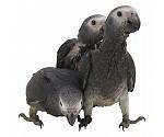 Opfokvoer papegaaien