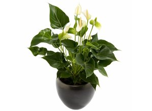 Anthurium in pot (potsoort varieert)