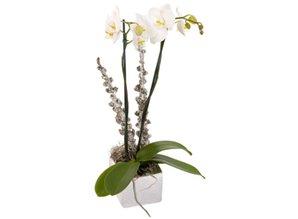 Phaleanopsis in pot (potsoort varieert)
