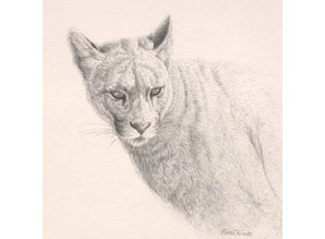 Puma portrait (25 x 25 cm)