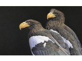 Steller sea eagle (60 x 40 cm)
