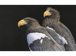 Steller sea eagle (60 x 40 cm)