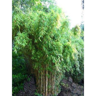 Bamboe fargesia jumbo kopen bij tuincentrum online tuincentrum - Winkel bamboe ...