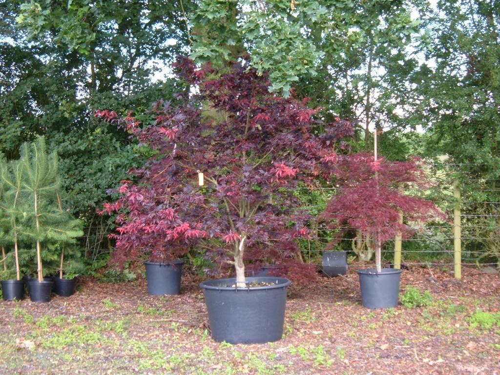Acer palmatum bloodgood kopen
