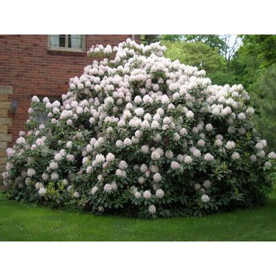 Rhodondendron Wit