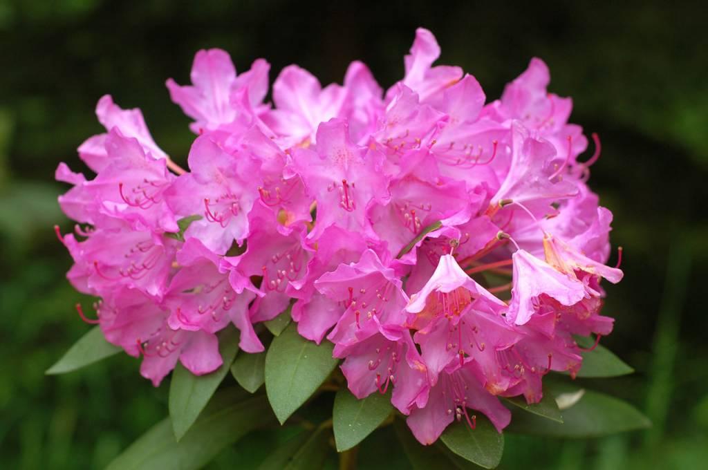 rhododendron roseum elegans kopen bij tuincentrum boskoops. Black Bedroom Furniture Sets. Home Design Ideas