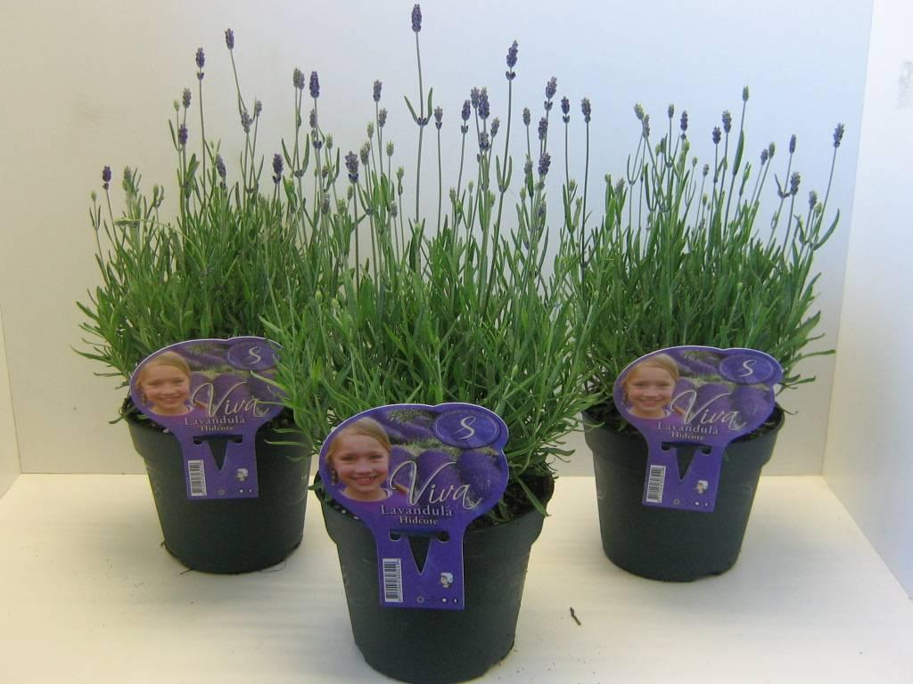 Lavendel In Grote Pot.Lavendel Hidcote Kopen Bij Tuincentrum Boskoops Nl Online Tuincentrum