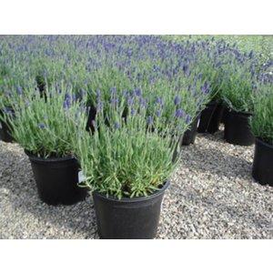 Lavendel Munstead