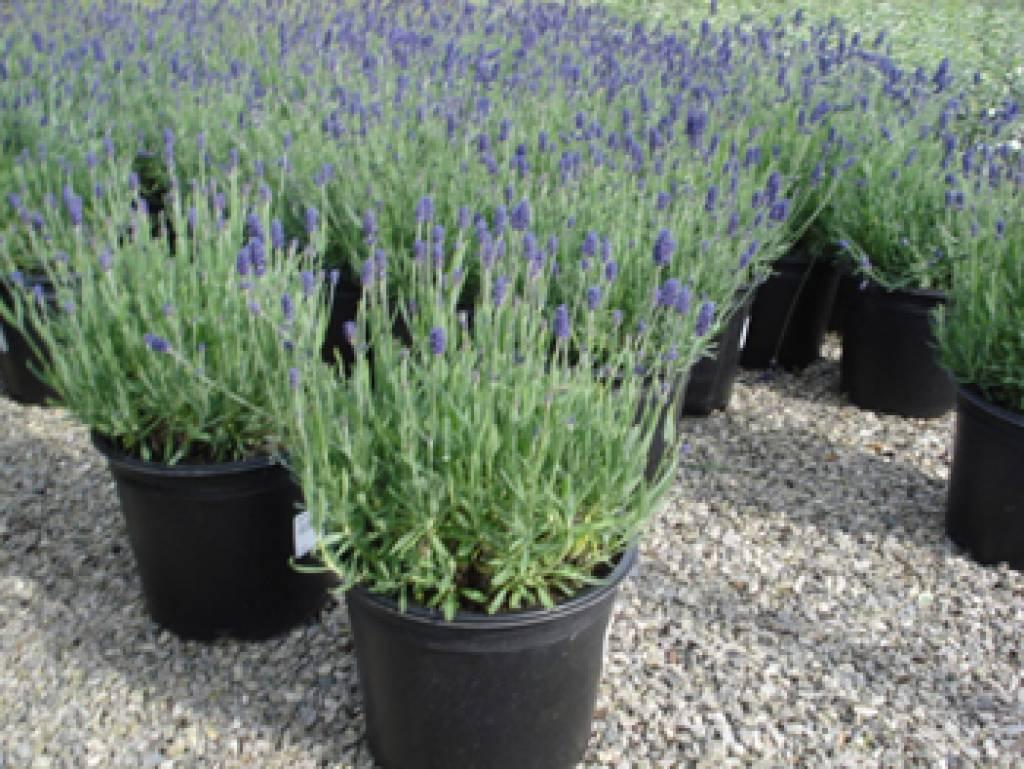 Lavendel In Grote Pot.Lavendel Munstead Kopen Bij Tuincentrum Boskoops Nl Online Tuincentrum