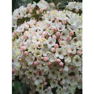 Viburnum Burkwoodii 'Geurend'