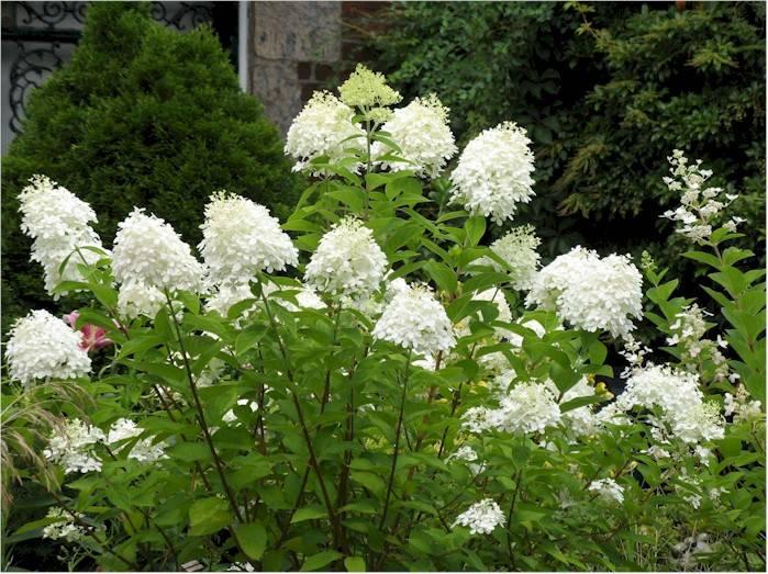 hydrangea paniculata grandiflora kopen bij tuincentrum. Black Bedroom Furniture Sets. Home Design Ideas