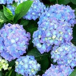 Hydrangea Macrophylla `Blue`