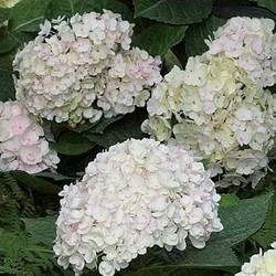 Hydrangea Macrophylla `White`