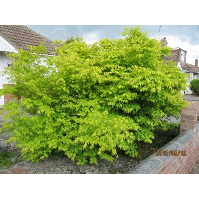 Acer Palmatum Aureum