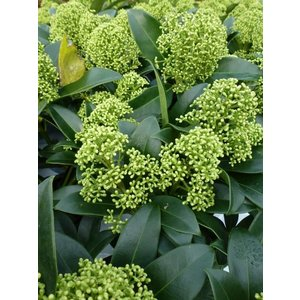 Skimmia Fragrant Cloud
