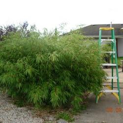 Bamboe Fargesia Rufa