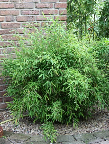 Bamboe fargesia bimbo kopen bij tuincentrum online tuincentrum - Winkel bamboe ...