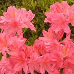 Azalea Apple Blossom