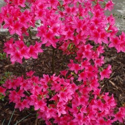 Rhododendron AJ Anouk
