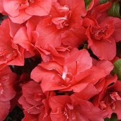 Rhododendron AJ Geisha Orange