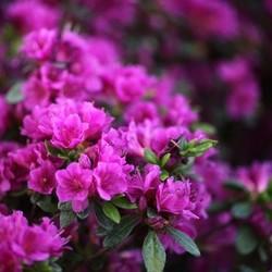 Rhododendron AJ Geisha Purple
