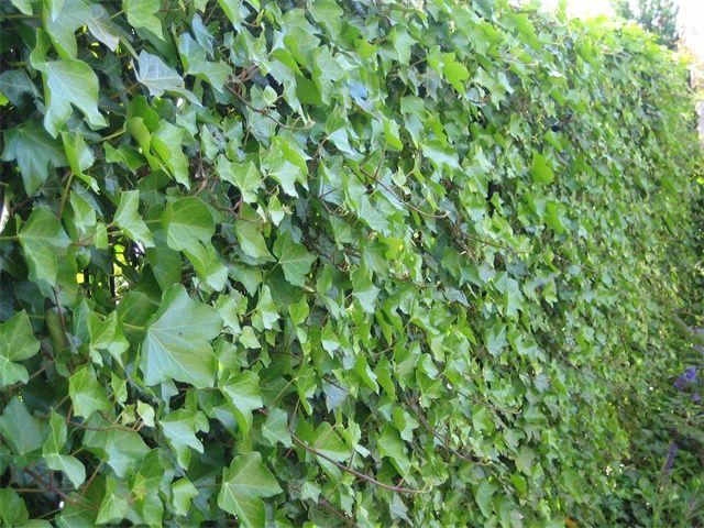Hedera Hibernica 125-130cm Kopen Bij Tuincentrum Boskoops
