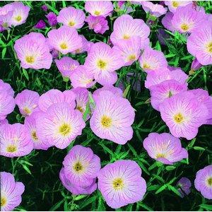 Oenothera Siskiyou Pink