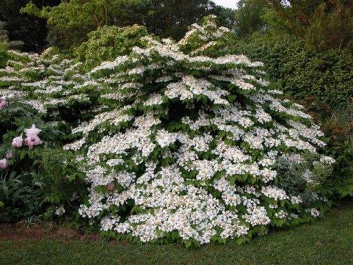 viburnum plicatum watanabe kopen bij tuincentrum boskoops. Black Bedroom Furniture Sets. Home Design Ideas