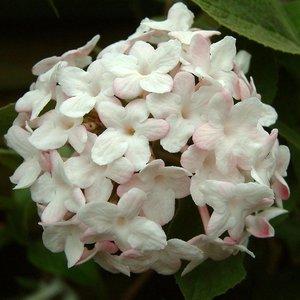Viburnum Carlesii Aurora ''Sneeuwbal''