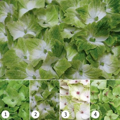 hydrangea macrophylla magical noblesse kopen bij tuincentrum online tuincentrum. Black Bedroom Furniture Sets. Home Design Ideas