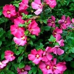 Hibiscus 'Woodbridge' 60 cm stam