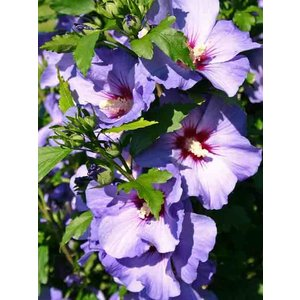 Hibiscus syriacus 'Blue Bird' 60 cm stam