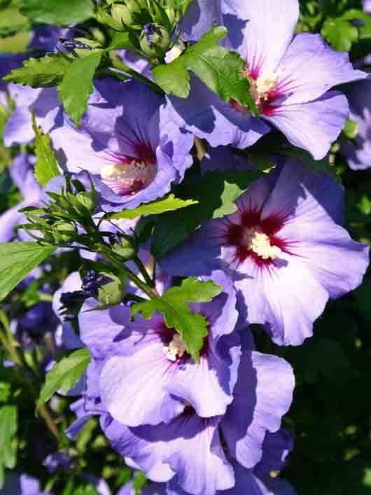 hibiscus syriacus blue bird 60 cm stam kopen bij. Black Bedroom Furniture Sets. Home Design Ideas